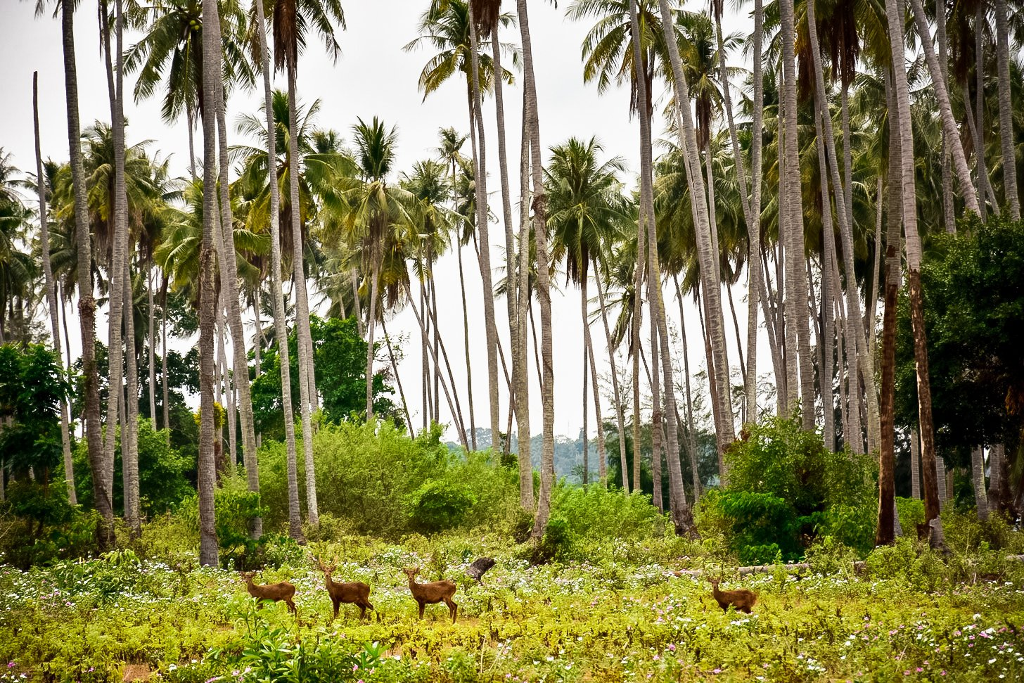 Deer island Koh Kradad is famous for having many friendly deer and it's with beautiful nature