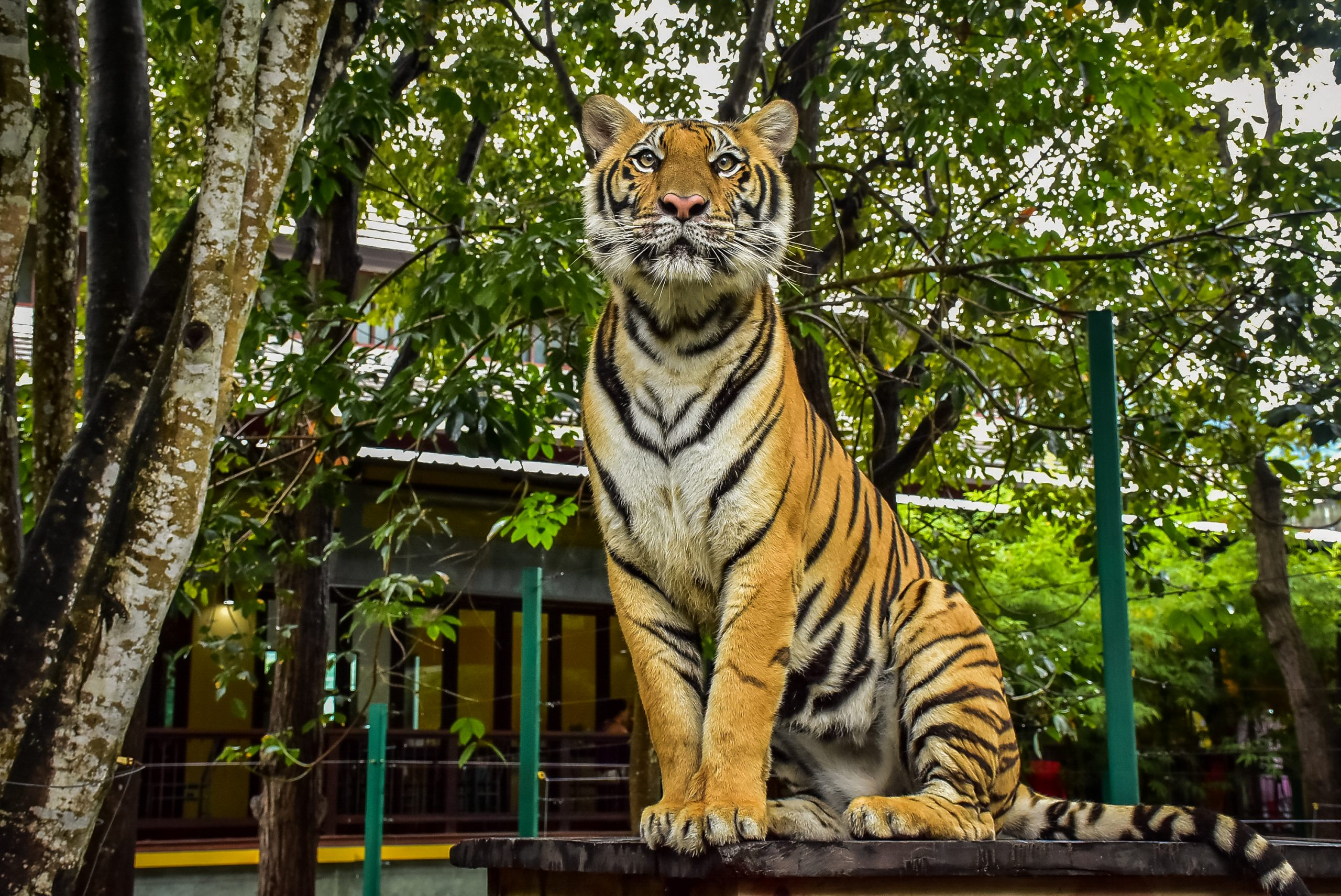 Tiger Kingdom in Phuket, Thailand, is one of the busiest and most popular attractions.